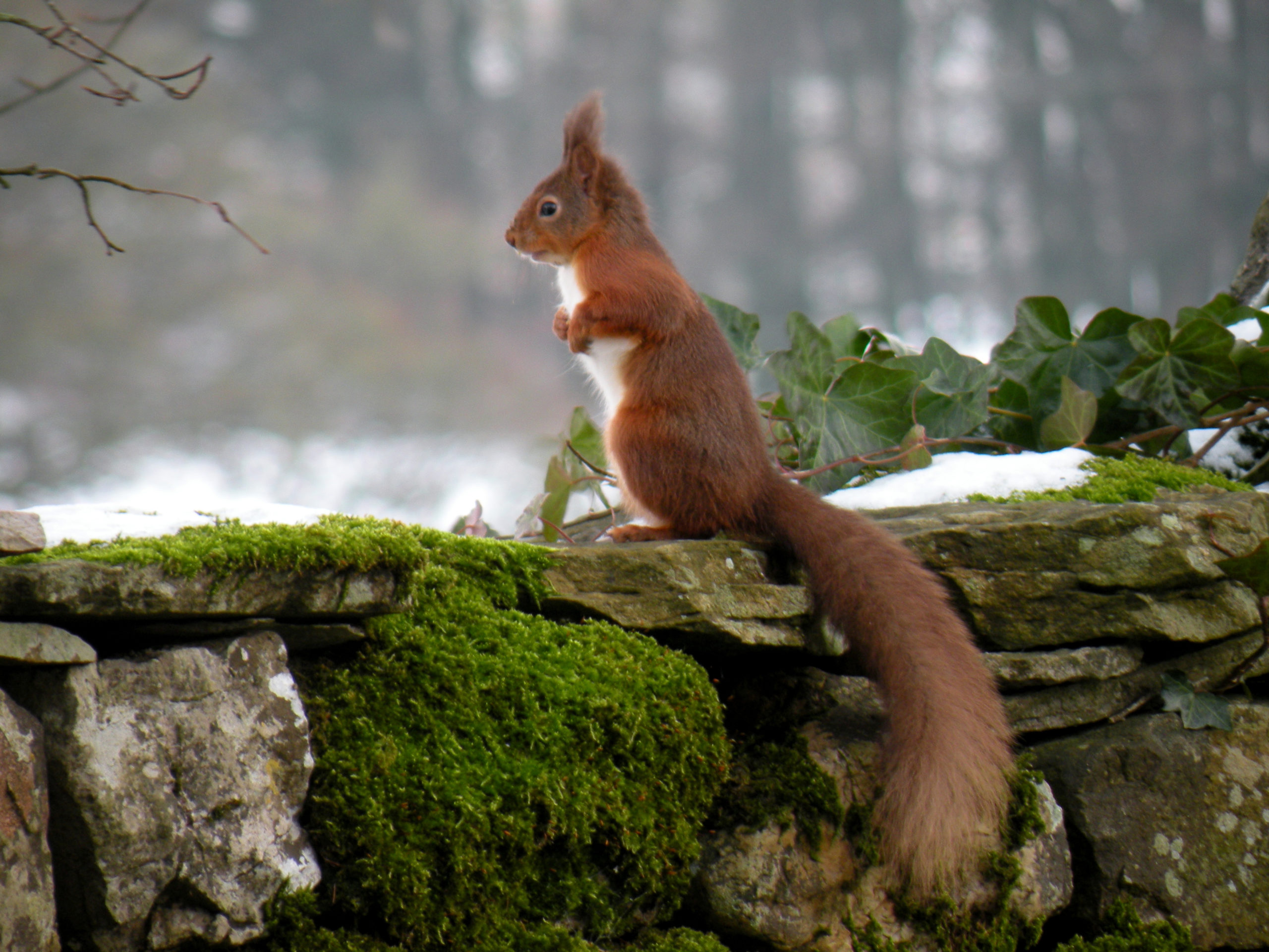 Cumbria Cottage - red squirrel