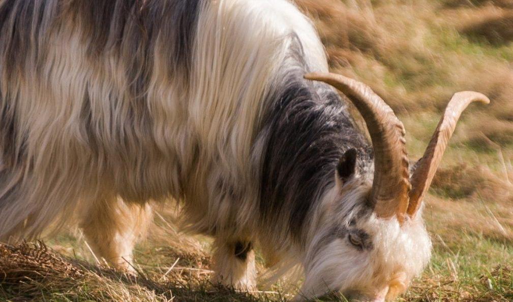Wild Cheviot Goat © northumberlandnationalpark.org